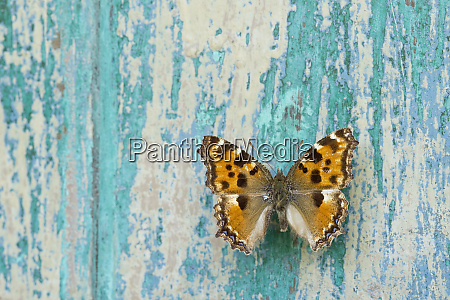butterfly on flaking turquoise wood