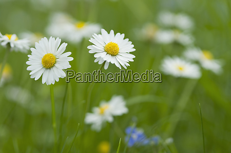 daisies blooming in meadow
