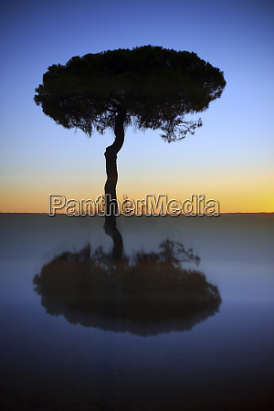 silhouette and reflection of pine tree