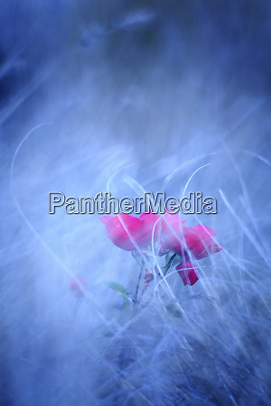 pink roses in blurred environment