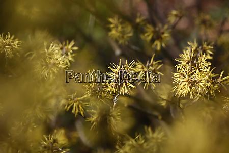 witch hazel hamamelis flowering