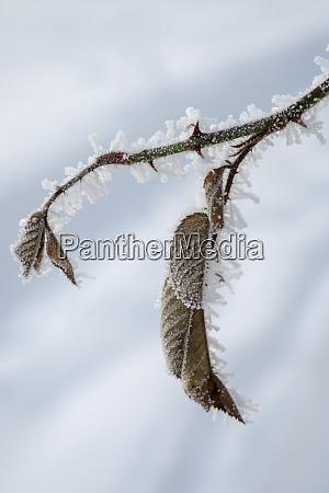 leaves of pale rose in winter