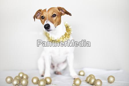 portrait of dog wearing golden garland