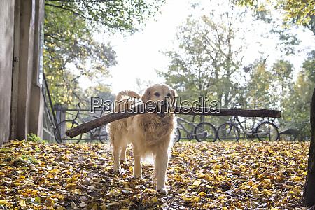 golden retriever retrieving big stick in
