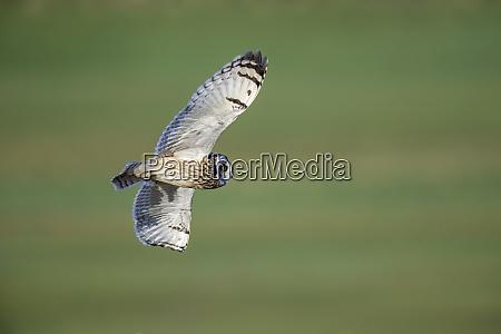 flying short eared owl