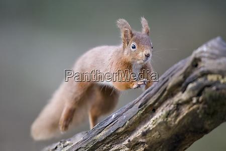 jumping eurasian red squirrel