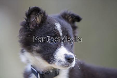 portrait of border collie puppy