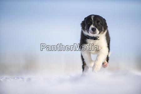 border collie puppy running on snow