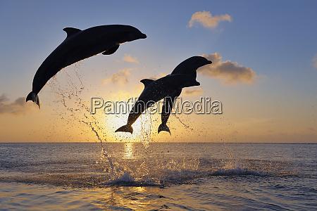 bottlenose dolphins tursiops truncatus jumping in