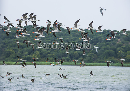 africa uganda huge flocks of birds