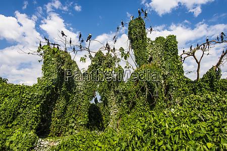 africa uganda jinja white breasted cormorants