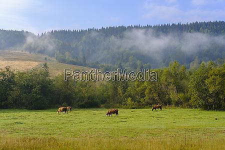 montenegro rozaje cows on meadow