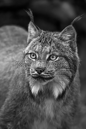 lynx lynx canadensis chilkat river haines