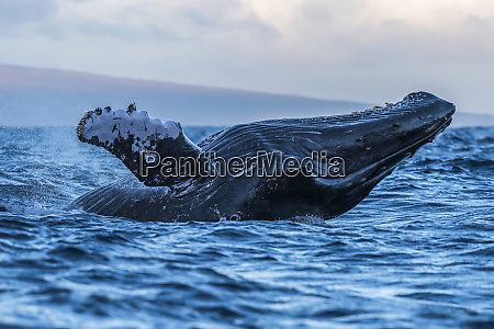 humpback whale megaptera novaeangliae breaching lahaina