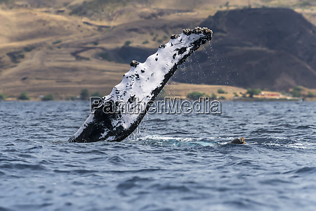 humpback whale megaptera novaeangliae pectoral fin