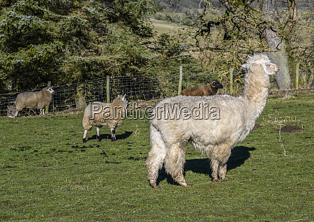 alpaca vicugna pacos and sheep ovis