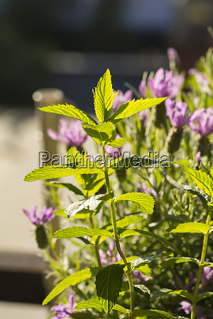 peppermint in garden