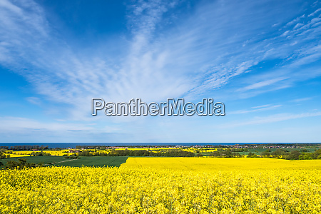 canola fields on the baltic sea