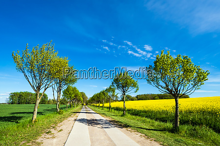 road with trees on a canola