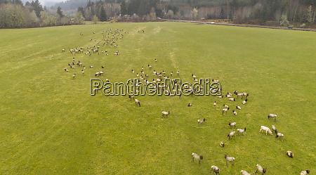 a large herd of roosevelt elk