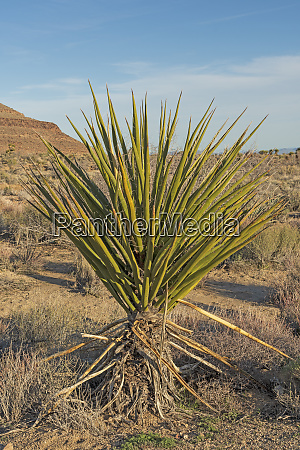 mojave yucca in the desert