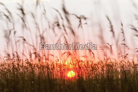 germany usedom loddin grasses at sunset
