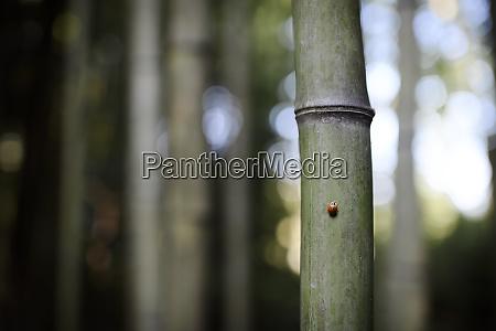 ladybird on bamboo