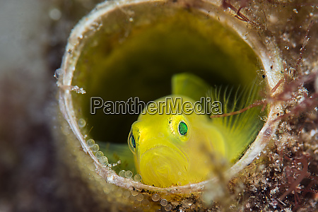 yellow pygmy goby lubricogobius exiguus