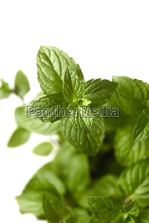 mint mint leaves close up
