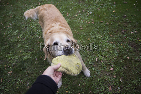 dog owner playing with golden retriever