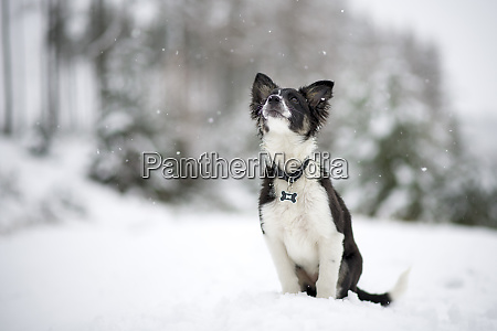 border collie puppy watching snowfall