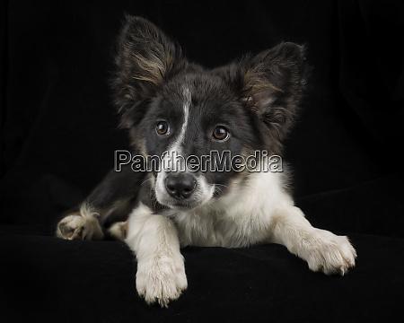 portrait of border collie puppy in