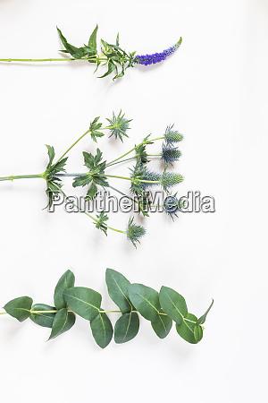longleaf speedwell veronica longifolia amethyst sea