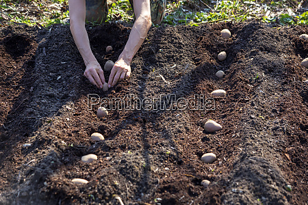 man planting potato