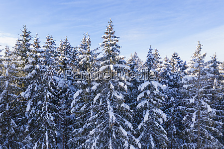 germany bavaria snowy spruce forest