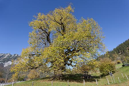 germany upper bavaria hindenburg linden tree