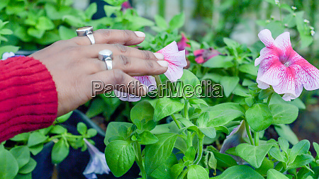 young lady hand touch on petunia