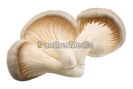 oyster mushrooms pleurotus paths