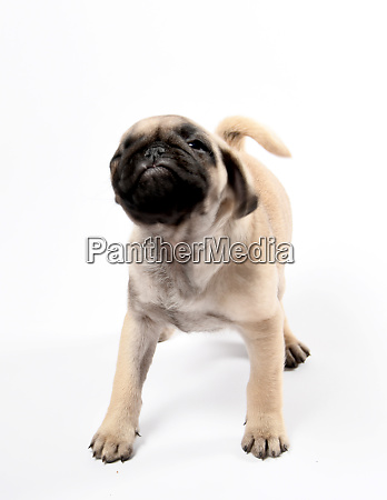 pug puppy shaking his head