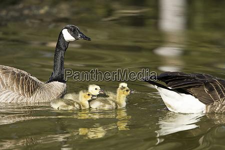 goslings swim between parents