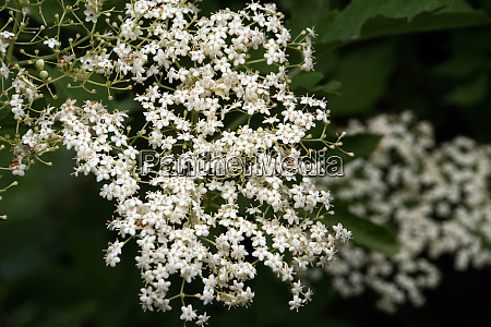 black elderberry sambucus nigra inflorescence