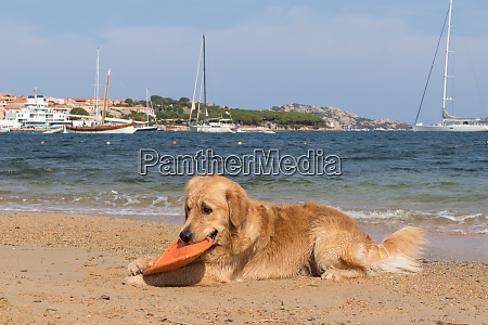 golden retriever playing with frisbee on