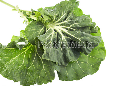collard known as couve galega