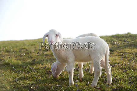 two young lambs on a meadow