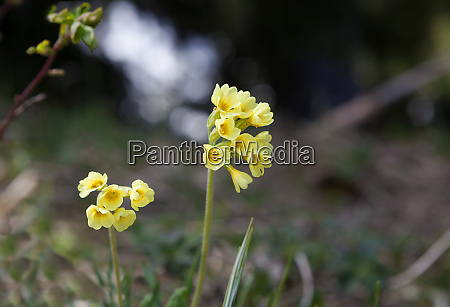 primroses on a meadow