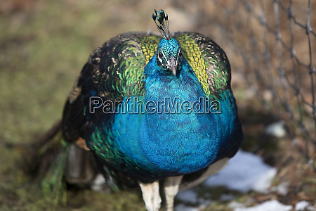portrait of a colourful peacock