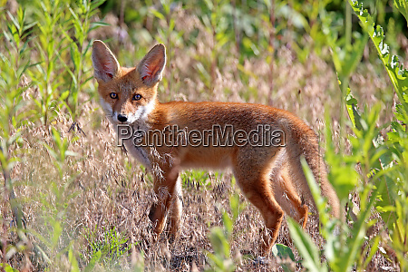 young rotuchs vulpes vulpes from the