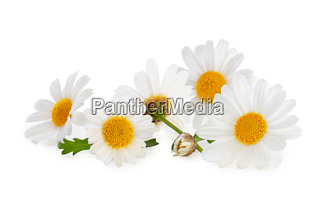 lovely daisies marguerite isolated including clipping