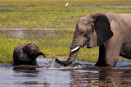 african elephants okavango delta botswana