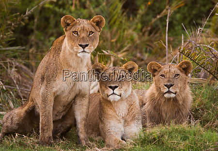 african lions botswana